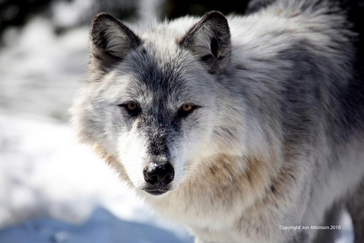 Arctic wolf omega park parc oméga quebec canada