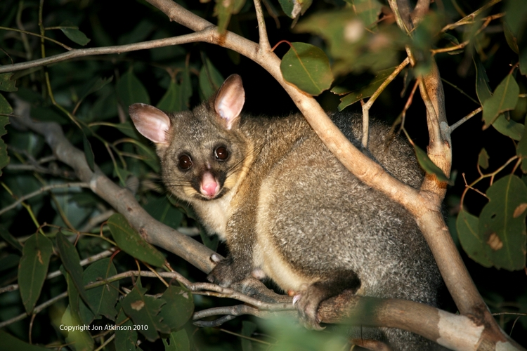 Brush Tailed Possum