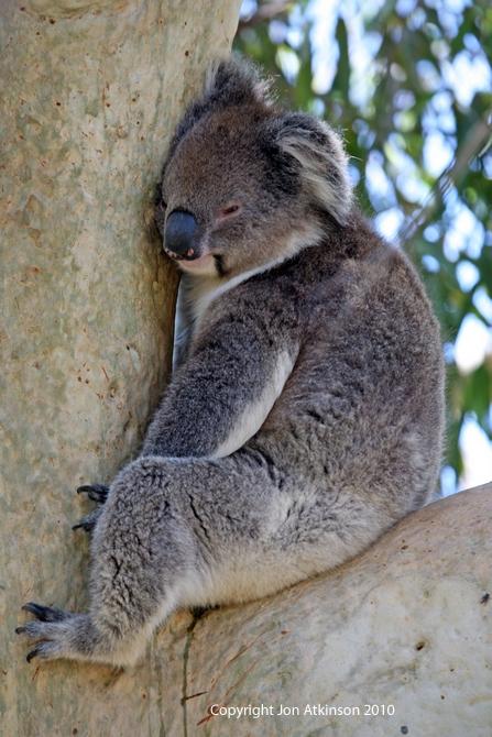Common Wildlife Of Australia Australian Wildlife Koala