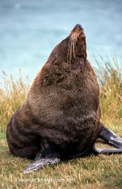 Light MantlNew Zealand Fur Seal