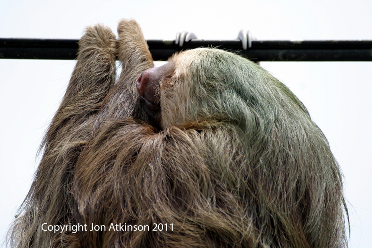 Two Toed Sloth