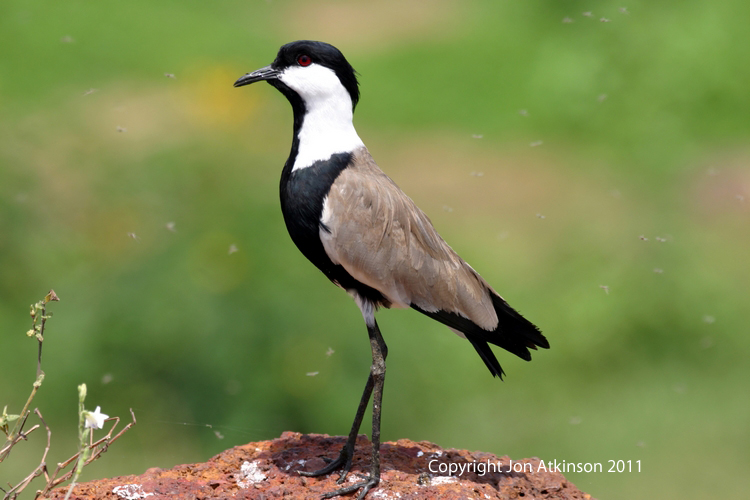 Spur Winged Plover.jpg