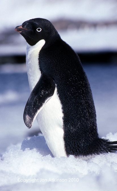 Images of adelie penguins - photo#28