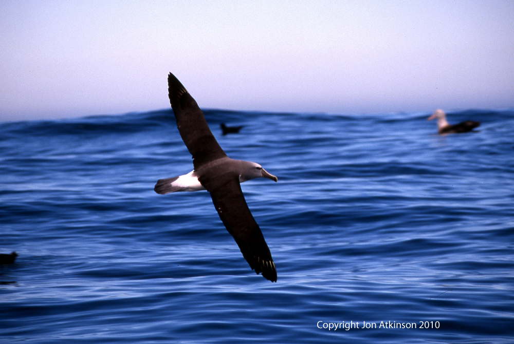 Light Mantled Sooty Albatros