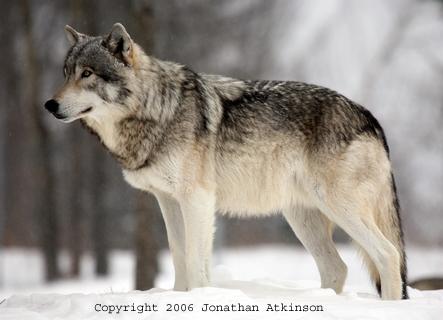 http://jon-atkinson.com/Large%20Images/La_Grey_Wolf2.jpg