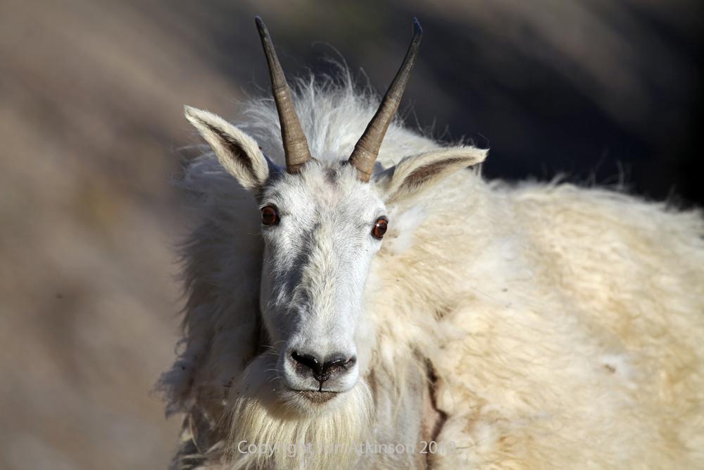 Canadian West Coast Wildlife Photographs By Jon Atkinson