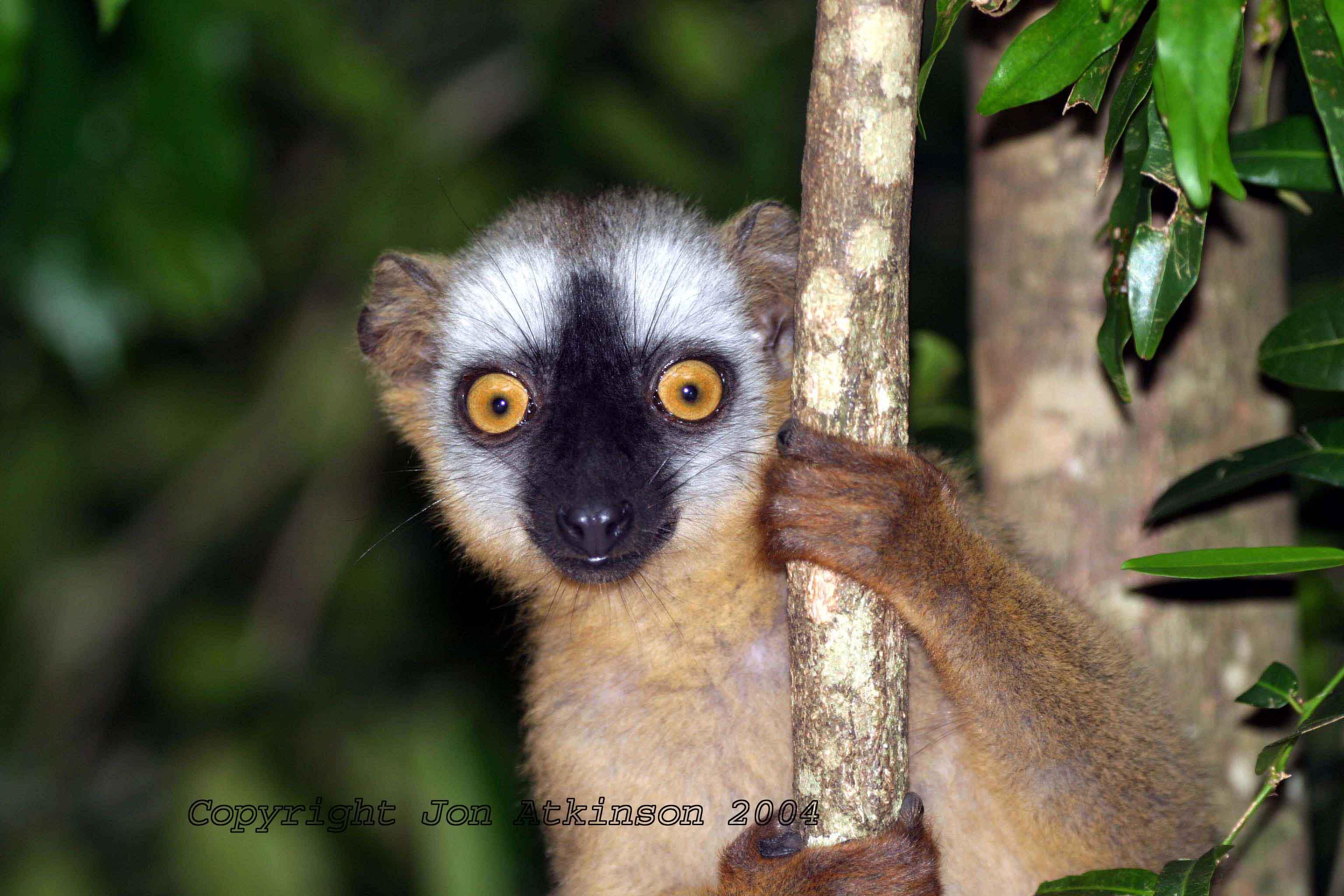 Where do lemurs live? 25