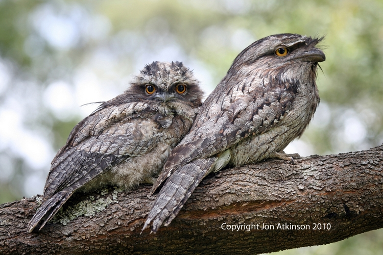 Owlet frogmouth